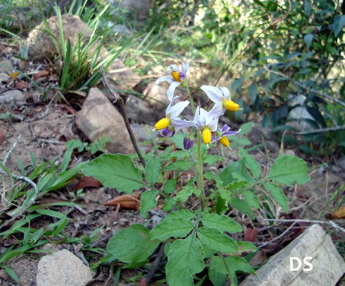 Solanum_commersonii.jpg