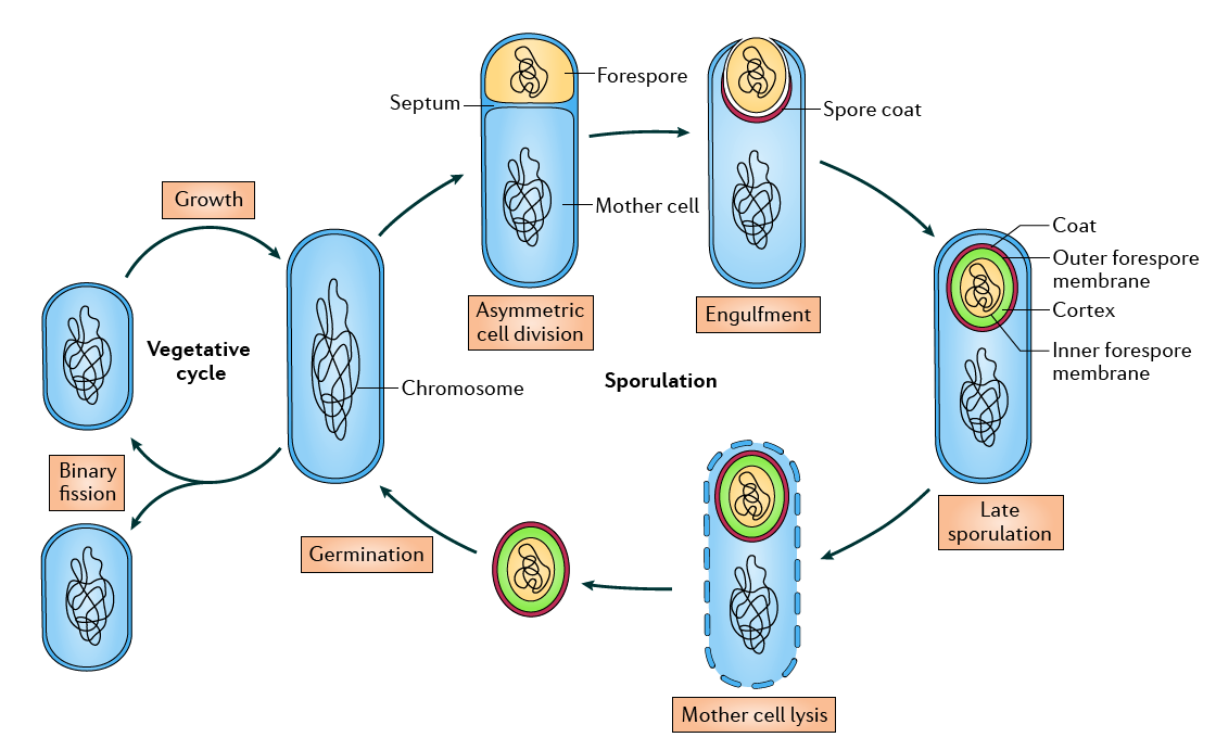 endospore_cycle_Bacillus.png